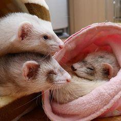 へれなよしっかり見張りなさい♪ #ferret #pet #petstagram #instaferret #ferretgram