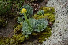 Výsledok vyhľadávania obrázkov pre dopyt sempervivum tectorum bloom
