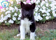 This Akita puppy is quite stunning and will make a lovely companion dog. He is a smart puppy who will be loyal to your family and the best friend that you Akita Puppies For Sale, Corgi Puppies, Black Labrador, Black Labs, Dog Grooming Business, Black Lab Puppies, Companion Dog, Thing 1, Cute Kawaii Drawings