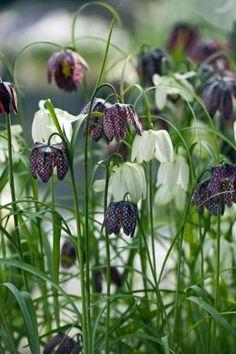 Fritillaria - Ontdek bloembollen