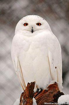 Oh! Beautiful Beautiful Owl, Animals Beautiful, Wise Owl, All Birds, Birds Of Prey, Love Birds, Pretty Birds, White Chicks, Raptors