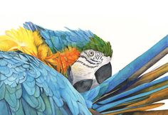 Macaw+Watercolor+Painting++2014++Bird+Art++Print+by+LouiseDeMasi