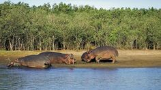 Hippo in St Lucia Wetlands Park Kwazulu South Africa Wetland Park, Kwazulu Natal, South Africa, Coast, Elephant, Animals, Country, Africa, Animales