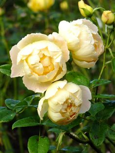 'Comtes de Champagne' | Shrub. English Rose Collection - David Austin.