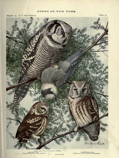 https://flic.kr/p/bvRVp9 | n576_w1150 | Birds of New York /. Albany :University of the State of New York,1910-1914.. biodiversitylibrary.org/page/20083274