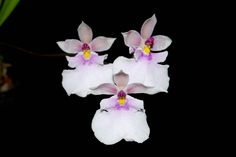 Oncidium nubigeum - Flickr - Photo Sharing!