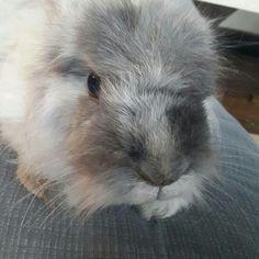 Angorakaninchen Bunny Rabbit
