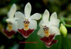 Phalaenopsis parishii Rchb.f. 1865, Flower Macro