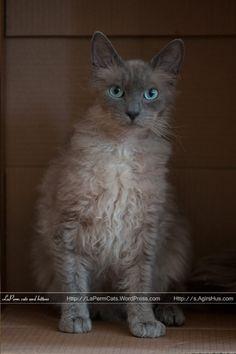 LaPerm cat - S*ÄgirsHus BC Bysen  La Perm cats have curly fur! Bysen is magnif.  Judith. The Lioness