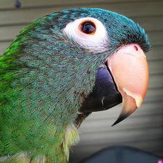 Blue Crowned Conure #parrots