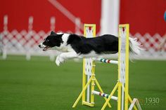 Border Collie Agility #bordercollie