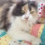 Here's Lucy modeling a quilt coming up in Scrap Quilts! anim, cat play, quilt stuff, luci, scrap quilt, quilt 101