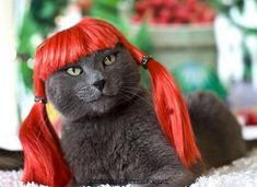 cats with wigs | Cute Cats: Colorful Makeover - Kitty Wigs : Fashion, Beauty