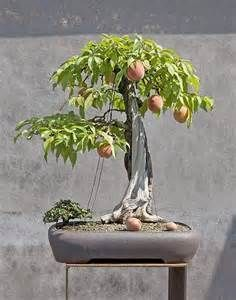 Bonsai Mango Tree - Bing Images