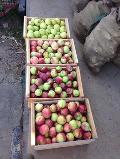 Summer Apples, at Foppema's Farm, Northbridge, MA. Pristine, Jersey Mac, July Red, and Vistable.