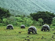 Giant Galapagos Tortoises. It would be amazing to walk in Darwin's footsteps.