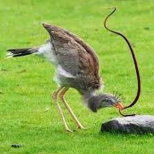 Secretary bird vs snake