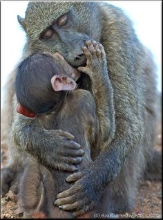 """Victoria Newsome started the group board called """"There There, Mama's Got You..."""" It is all animals sharing tender moments with their little ones. http://www.pinterest.com/newsome0120/there-there-mamas-got-you/ This pin: Caring hands by Amelia Vermaak on 500px Anyone know what kind of primate this is?"""