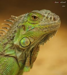 Iguana. My sweet Aruban beauties are such a welcoming sight whenever I am home in Aruba.
