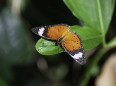 https://flic.kr/p/Q6Eaoc | Orange Lacewing