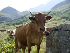 Someday: saying hello to a cow while hiking Mt Blanc.