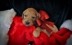 Doodle Pups | Goldendoodle Puppy    Donner    Perfect Christmas Gift!!    #golden doodle #puppies #sale