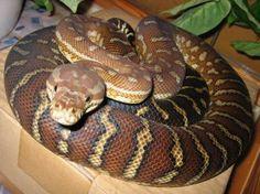 Bredli (or Centralian Carpet) Python, medium snake, easy for beginners, calms quickly in captivity.