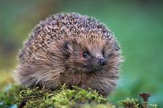 OK, I like hedgehogs [Photo: Niall Benvie/Corbis]
