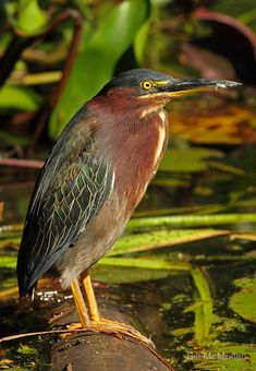 The Green Herons live right up on the shore of the pond. They have babies and are actually friendly enough that I can get close to take pics. Don't have a pic on my computer though!