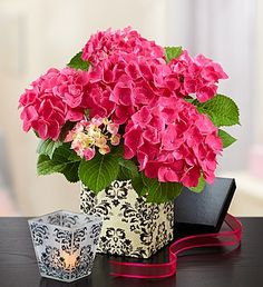 Chic Pink Hydrangea - arrives in a decorative gift box featuring stunning scroll artwork they can reuse for storing notes or mementos. Pair it with an elegant glass votive holder for lasting beauty.