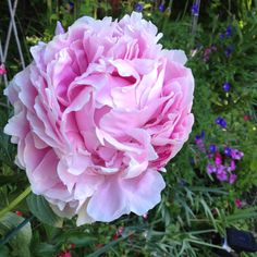 Peony. When planting do not plant deep. Likes to get cold in winter.