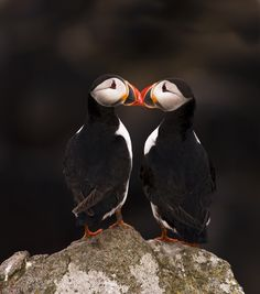 Every summer some pairs of amorous puffins come to nest on the Farne Islands off the Northumberland coast. Puffins love on the rocks Brian Chard (by Marwell Wildlife). Sea Birds, Love Birds, Beautiful Birds, Animals Beautiful, Nature Animals, Animals And Pets, Cute Animals, Amor Animal, Mundo Animal