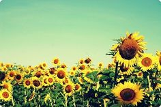 One day I will make it to a field of sunflowers. <3