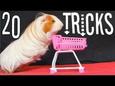 Amazing Guinea Pigs Tricks (with Twix and Lilo) - YouTube