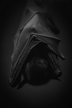 Night Hunter by LichtKlicker Animals And Pets, Baby Animals, Cute Animals, Animals Planet, Beautiful Creatures, Animals Beautiful, Animals Tattoo, Tres Belle Photo, Baby Bats