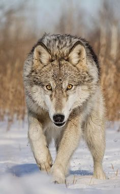 Timber Wolf by © cjm_photographyYou can find Timber wolf and more on our website.Timber Wolf by © cjm_photography Wolf Images, Wolf Photos, Wolf Pictures, Beautiful Wolves, Animals Beautiful, Cute Animals, Baby Animals, Timber Wolf, Wild Animals Photography