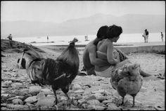 Coqs et poulettes …. henri cartier-bresson