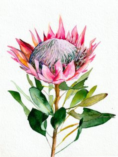Protea Watercolor Art Print - Mai Autumn - Protea art - Prints: – Printed with archival inks on Canon Pro Luster Paper – 255 gsm or German Etching Pape - Flor Protea, Protea Art, Protea Flower, Green Watercolor, Watercolor Flowers, Watercolor Paintings, Watercolor Paper, Botanical Drawings, Botanical Art