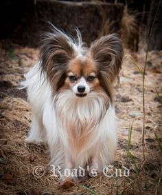 Road's End Papillons : 7 Year old Papillon Girl