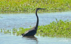 Great Blue Heron, Main Marsh, Goose Pond Fish and Wildlife Area, Linton, Indiana.