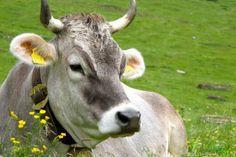 Südtirol: Ich mag die Rindviecher einfach ..