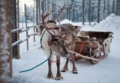 A reindeer is waiting for you for an excursion in Lapland