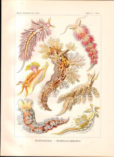 Haeckel Print Nudibranchia Marine Gastropod Mollusks Nudibranchs Sea Slugs Life | eBay