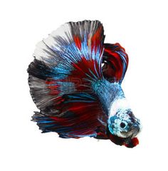 betta: siamese fighting fish, betta isolated on white background.