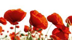 Poppy Blossoms | eBay