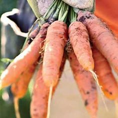 Carrots -- Start sowing this cool-weather crop 3 weeks before the last frost; plant again every 2 to 3 weeks after that. Last planting 2 to 3 months before the first fall frost. Give them 18 inches of their own soil for the roots to spead out and be more productive.