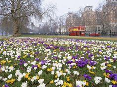 Crocus Flowering in Spring in Hyde Park
