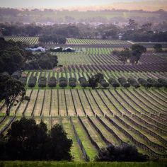 Winter pruned vineyards reveal an oft hidden landscape. Living in the Barossa gives a new appreciation for straight lines.