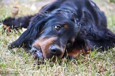 Our friend - Gordon Setter Sam