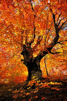 Autumn beech tree - Balkan, beautiful colors of autumn just like our orange autumn Balkan styled cardigan! Autumn Trees, Autumn Leaves, Golden Leaves, Autumn Fall, Beech Tree, Tree Forest, Beautiful World, Mother Nature, Beautiful Pictures